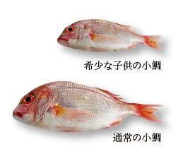 希少な小鯛